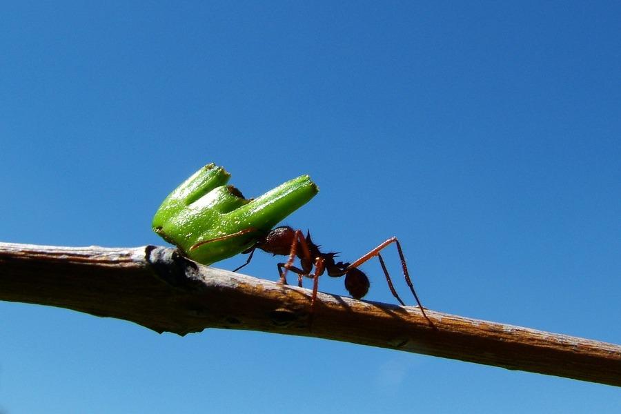 les fourmis un indispensable fl au saint genis info. Black Bedroom Furniture Sets. Home Design Ideas